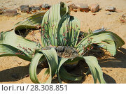 Купить «Welwitschia (Welwitschia mirabilis) plant growing in the hot arid Namib Desert of Angola and Namibia», фото № 28308851, снято 19 апреля 2019 г. (c) BE&W Photo / Фотобанк Лори