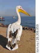 Купить «Great White Pelican (Pelecanus onocrotalus) Walvis Bay Namibia», фото № 28308859, снято 18 октября 2019 г. (c) BE&W Photo / Фотобанк Лори