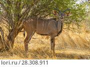 Male kudu antelope (Tragelaphus strepsiceros) in natural habitat, Etosha National Park, Namibia. Стоковое фото, агентство BE&W Photo / Фотобанк Лори