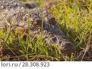 Купить «Nile crocodile (Crocodylus niloticus) in the banks of the Chobe river, Chobe National Park, in Botswana, Africa», фото № 28308923, снято 15 октября 2019 г. (c) BE&W Photo / Фотобанк Лори