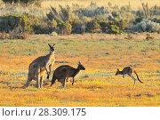 Купить «Female and male eastern grey kangaroos (Macropus giganteus), Coorong National Park Australia», фото № 28309175, снято 7 декабря 2019 г. (c) BE&W Photo / Фотобанк Лори