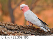 Купить «The galah (Eolophus roseicapilla), also known as the rose-breasted cockatoo, galah cockatoo, roseate cockatoo or pink and grey, is one of the most common and widespread cockatoos in Australia», фото № 28309195, снято 19 апреля 2019 г. (c) BE&W Photo / Фотобанк Лори