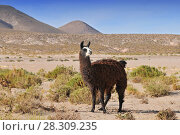 Llama (Lama glama) near the Laguna Colorada, Bolivia. Стоковое фото, агентство BE&W Photo / Фотобанк Лори