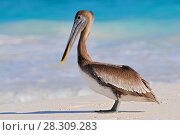 Купить «Brown pelican (Pelecanus occidentalis) Tulum beach, Mexico», фото № 28309283, снято 11 декабря 2019 г. (c) BE&W Photo / Фотобанк Лори