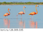 Купить «A row of American flamingos (Phoenicopterus ruber ruber-American Flamingo) in the Rio Lagardos, Mexico», фото № 28309335, снято 23 марта 2019 г. (c) BE&W Photo / Фотобанк Лори