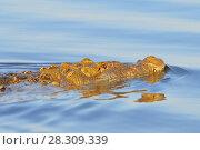 Купить «A crocide swimming in a Rio Lagartos Natural Reserve, Mexico», фото № 28309339, снято 11 декабря 2019 г. (c) BE&W Photo / Фотобанк Лори