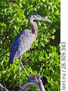 Купить «The great blue heron (Ardea herodias) is a large wading bird in the heron family, Rio Lagartos Natural Reserve, Mexico», фото № 28309343, снято 23 марта 2019 г. (c) BE&W Photo / Фотобанк Лори