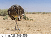 Купить «The North African ostrich or red-necked ostrich (Struthio camelus camelus), also known as the Barbary ostrich in Yotvata Hai-Bar Nature Reserve, Israel», фото № 28309559, снято 19 октября 2018 г. (c) BE&W Photo / Фотобанк Лори