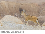 Купить «Wild young Nubian ibex (Capra nubiana) on the cliff edge at Ramon Crater in Negev Desert, Israel», фото № 28309611, снято 24 июня 2019 г. (c) BE&W Photo / Фотобанк Лори