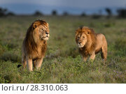 Купить «RF - Lions (Panthera leo) - two brothers patrolling territorial boundary. Short grass plains on the border of Serengeti / Ngorongoro Conservation Area (NCA) near Ndutu, Tanzania.», фото № 28310063, снято 21 июля 2018 г. (c) Nature Picture Library / Фотобанк Лори