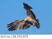 Купить «Tawny eagle (Aquila rapax) in flight, coming into land on carcass. Ndutu, Ngorongoro Conservation Area / Serengeti Tanzania.», фото № 28310075, снято 23 мая 2019 г. (c) Nature Picture Library / Фотобанк Лори