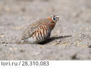 Купить «Tibetan partridge (Perdix hodgsoniae) dust bathing. Indus Valley, Ladakh, India.», фото № 28310083, снято 23 мая 2019 г. (c) Nature Picture Library / Фотобанк Лори
