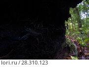 Купить «Borneo giant forest scorpion (Heterometrus longimanus) resting inside a fallen hollow log. Danum Valley, Sabah, Borneo. Photographed with natural light...», фото № 28310123, снято 25 апреля 2018 г. (c) Nature Picture Library / Фотобанк Лори