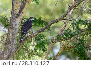 Купить «Adult African hawk-eagle (Hieraaetus spilogaster) perched in Acacia. Tarangire National Park, Tanzania.», фото № 28310127, снято 23 мая 2019 г. (c) Nature Picture Library / Фотобанк Лори
