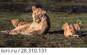 Купить «Lioness (Panthera leo) with cubs playing, Woodland on the border of Serengeti / Ngorongoro Conservation Area (NCA) near Ndutu, Tanzania.», фото № 28310131, снято 19 июля 2018 г. (c) Nature Picture Library / Фотобанк Лори