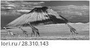 Купить «Mixed herd  of Masai giraffe (Giraffa camelopardalis) walking across short grass plains in the shadow of Oldonyo Lengai,  Ngorongoro Conservation Area, Tanzania.», фото № 28310143, снято 23 мая 2019 г. (c) Nature Picture Library / Фотобанк Лори
