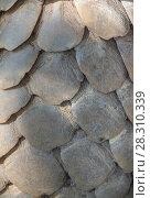 Indian pangolin (Manis crassicaudata) close-up of scales, Kanha National Park, Madhya Pradesh, India. Стоковое фото, фотограф Yashpal Rathore / Nature Picture Library / Фотобанк Лори