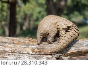 Indian pangolin (Manis crassicaudata) foraging for food, probably termites, Kanha National Park, Madhya Pradesh, India. Стоковое фото, фотограф Yashpal Rathore / Nature Picture Library / Фотобанк Лори