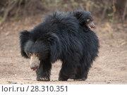 Купить «Sloth bear (Melursus ursinus) mother with cub riding on her back, Daroiji Bear Sanctuary, Karnataka, India.», фото № 28310351, снято 21 июля 2018 г. (c) Nature Picture Library / Фотобанк Лори