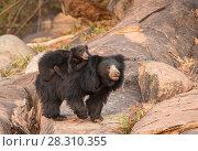 Купить «Sloth bear (Melursus ursinus) mother with cub riding on her back, Daroiji Bear Sanctuary, Karnataka, India.», фото № 28310355, снято 21 июля 2018 г. (c) Nature Picture Library / Фотобанк Лори