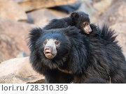 Купить «Sloth bear (Melursus ursinus) mother with cub on her back, Daroiji Bear Sanctuary, Karnataka, India.», фото № 28310359, снято 21 июля 2018 г. (c) Nature Picture Library / Фотобанк Лори