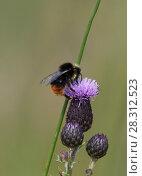 Купить «Red-tailed bumblebee (Bombus lapidarius) feeding on nectar from a thistle flower. Druridge Bay, Northumberland, England, UK, July.», фото № 28312523, снято 21 апреля 2018 г. (c) Nature Picture Library / Фотобанк Лори