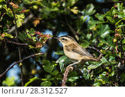 Купить «Sedge warbler (Acrocephalus schoenobaenus) perched in a hawthorn bush. Druridge Bay, Northumberland, England, UK, July.», фото № 28312527, снято 21 мая 2018 г. (c) Nature Picture Library / Фотобанк Лори