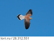 Купить «Lesser Kestrel (Falco naumanni) male flying past. Extremadura, Spain. April.», фото № 28312551, снято 18 июля 2018 г. (c) Nature Picture Library / Фотобанк Лори
