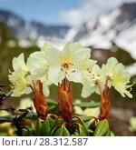 Купить «Красивые цветы рододендрона золотистого», фото № 28312587, снято 21 июня 2016 г. (c) А. А. Пирагис / Фотобанк Лори