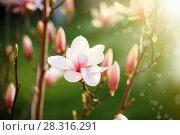 Купить «Beautiful pink magnolia flower», фото № 28316291, снято 18 апреля 2018 г. (c) Peredniankina / Фотобанк Лори