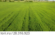 Купить «Aerial Drone Shot over Large Green Wheat Field», видеоролик № 28316923, снято 12 февраля 2010 г. (c) Куликов Константин / Фотобанк Лори