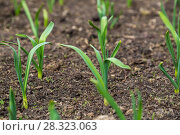 Купить «Грядка озимого чеснока (лат. Alliaceae)», фото № 28323063, снято 26 апреля 2015 г. (c) Ольга Сейфутдинова / Фотобанк Лори