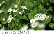 Купить «Strawberry blossoms in the garden», видеоролик № 28324183, снято 10 мая 2013 г. (c) Gennadiy Iotkovskiy / Фотобанк Лори