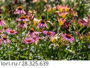 Купить «Цветы эхинацеи в саду (Caneflower - Echinacea)», фото № 28325639, снято 27 июля 2014 г. (c) Ольга Сейфутдинова / Фотобанк Лори