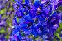 Купить «Дельфиниум синий», фото № 28325683, снято 19 июня 2014 г. (c) Ольга Сейфутдинова / Фотобанк Лори