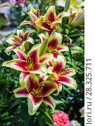 Купить «ЛилияОТ-гибрид в саду», фото № 28325711, снято 3 августа 2014 г. (c) Ольга Сейфутдинова / Фотобанк Лори