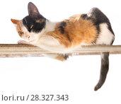 Купить «Трехцветная кошка (рыжий, черный, белый цвет) лежит на узкой палке. Белый фон», фото № 28327343, снято 16 апреля 2018 г. (c) Elizaveta Kharicheva / Фотобанк Лори