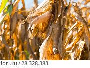 Купить «Ripened corn cob», фото № 28328383, снято 14 сентября 2017 г. (c) Яков Филимонов / Фотобанк Лори