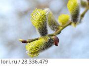 Купить «The furry buds of pussy willow», фото № 28336479, снято 23 апреля 2018 г. (c) Александр Клопков / Фотобанк Лори