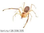 Купить «Camel spider (Galeodes sp.), captive.», фото № 28338335, снято 16 июля 2018 г. (c) Nature Picture Library / Фотобанк Лори