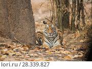 Купить «Bengal tigress (Panthera tigris tigris) resting amongst dead leaves, Bandhavgarh National Park, Madhya Pradesh, India. February.», фото № 28339827, снято 22 июля 2018 г. (c) Nature Picture Library / Фотобанк Лори