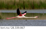Купить «Greater flamingo (Phoenicopterus ruber) in flight,  Pont de Gau, Camargue, France, May.», фото № 28339867, снято 19 июня 2018 г. (c) Nature Picture Library / Фотобанк Лори
