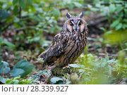 Купить «Long-eared owl (Asio otus) Bavarian forest National Park, Bavaria, Germany, May. Captive.», фото № 28339927, снято 25 сентября 2018 г. (c) Nature Picture Library / Фотобанк Лори