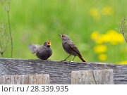 Купить «Black redstart (Phoenicurus ochruros) female with begging chick, Bavaria, Germany, June.», фото № 28339935, снято 15 августа 2018 г. (c) Nature Picture Library / Фотобанк Лори