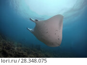 Купить «Reef Manta Ray (Mobula alfredi, Manta alfredi) swim in the blue water, Indian Ocean, Maldives», фото № 28348075, снято 28 августа 2017 г. (c) Некрасов Андрей / Фотобанк Лори