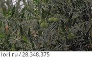 Купить «Wet olive tree under rain in garden», видеоролик № 28348375, снято 21 августа 2018 г. (c) Данил Руденко / Фотобанк Лори