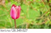 Купить «Tulip is member of Liliaceae family», видеоролик № 28349027, снято 29 марта 2018 г. (c) BestPhotoStudio / Фотобанк Лори