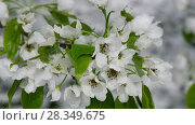 Купить «Apple-tree flowers under the snow in late Spring snowfall in Siberia», видеоролик № 28349675, снято 22 апреля 2018 г. (c) Serg Zastavkin / Фотобанк Лори