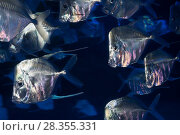 Купить «Lookdown fish (Selene sp.) Monterey Bay Aquarium, California.», фото № 28355331, снято 27 марта 2019 г. (c) Nature Picture Library / Фотобанк Лори
