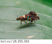 Купить «Iridescent moth  with jumping spider mimicking patterns, in Tapirai, Sao Paulo, Brazil. South-east Atlantic forest.», фото № 28355343, снято 18 июля 2018 г. (c) Nature Picture Library / Фотобанк Лори